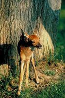 Cómo criar ciervos cervatillo Picazos