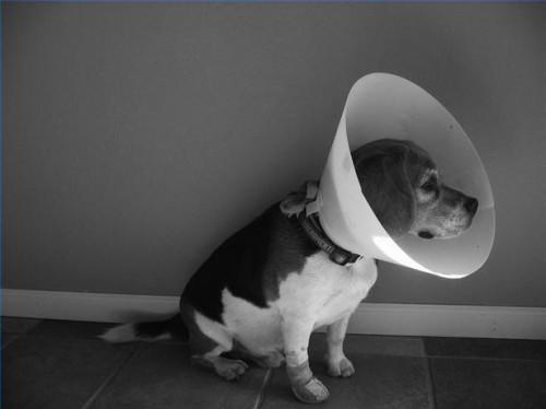 Shock en perros
