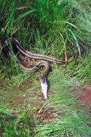 ¿Qué tipo de pescado debe alimenta a una serpiente de la Liga?