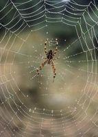 Arañas nocivas en los Estados Unidos