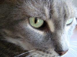 Armadura de la tiroides toxicidad en los gatos