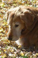 Síntomas del Lungworm canina