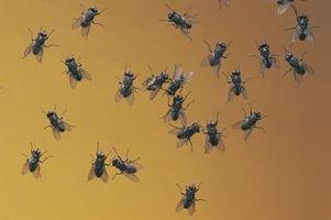 Cómo criar Larva de la mosca Hermetia negra