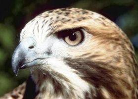 Los hábitos de apareamiento del halcón de cola roja