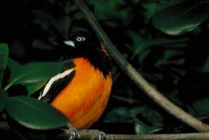 ¿Pájaros de Mynah hablar?