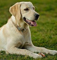 Canina Tumor espinal