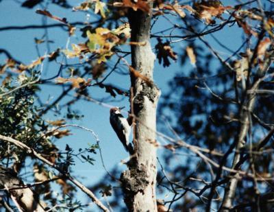 Cómo identificar aves con tapas de negro, fondo blanco y rojo de la garganta
