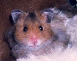 Información sobre Hamsters macho