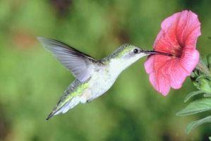 Comportamientos de colibrí