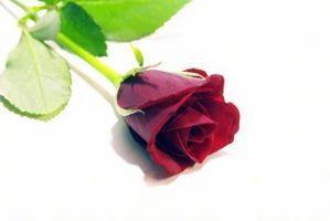 Cómo dibujar una rosa para los niños