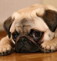 Cómo tratar problemas del hígado caninos holísticamente