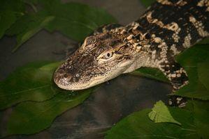 Cómo comparar Reptiles y aves