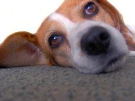 Manchas de lágrimas en Beagles