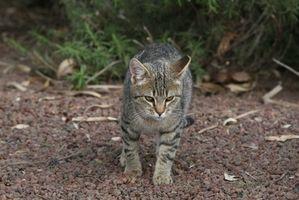 Cómo tratar las alergias estacionales de un gato