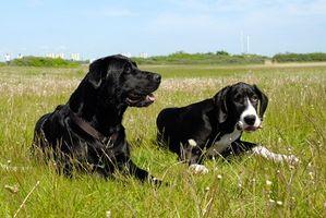 Tratamientos de la enfermedad de Lyme holístico para perros