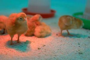 Cómo construir una incubadora de huevo de pollo