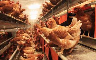 Cómo mantener pollos aniden en pasos en la noche
