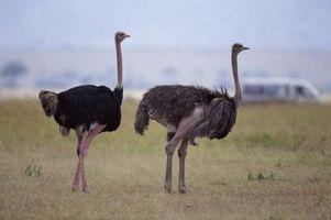Cómo hacer huevos de avestruz