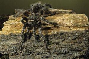 Cómo criar arañas