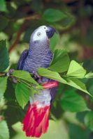 ¿Qué aves pueden hablar y vivir mucho tiempo?