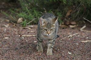 Como curar un gato salvaje con problemas respiratorios superiores