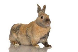 ¿Qué tipo de conejos es Calico los colores?