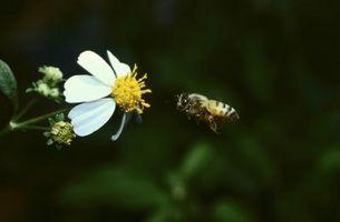 Cómo preparar agua con azúcar para las abejas de miel