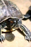 Hechos de tortuga de agua dulce