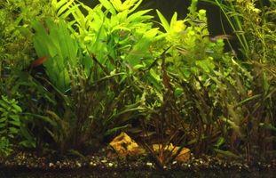 Cómo plantar las plantas acuáticas en acuarios