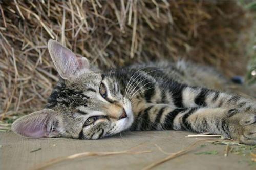 Cómo determinar si su gato tiene ácaros del oído