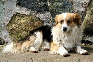 T. trichiura medicamento para perros