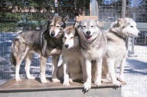 Actividades para un Husky siberiano