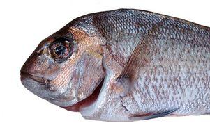 ¿Qué comen los peces pargo?