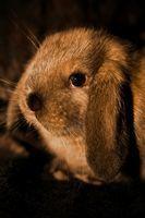 Timoma en conejos