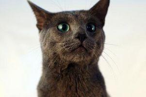 Cómo tomar cuidado de gatos azul Ruso