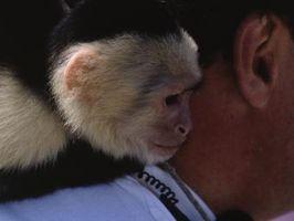 Cómo criar a un mono capuchino cara blanca