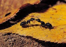 Cómo atraer a las hormigas Reina