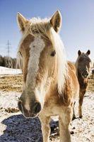 Consejos para que mi caballo ganancia peso