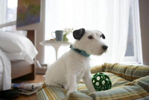 Cómo preparar un perro Schnauzer blanco