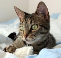 Síntomas de Megacolon en gato