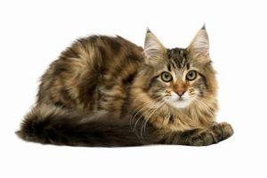 Cómo atraer a un gato en una jaula de la trampa humana