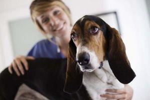 Pronóstico para la enfermedad canina suprarrenal Cushing