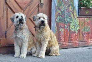 Diferencia entre irlandeses y americanos Wheaten Terriers