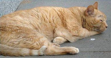 Enfermedad del gato costrosa