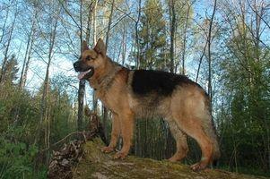 Diferencia entre perros de pastor alemanes del este y oeste alemán