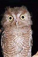 Comportamiento de Screech Owl
