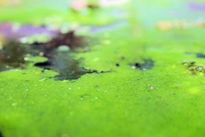 Cómo hacer Biodiesel de algas