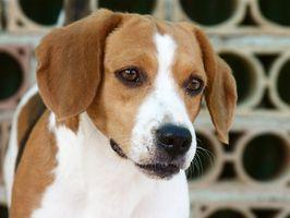 Cómo tratar una infección del oído de un Beagle
