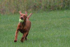 Extracción de cera de oído natural para perros