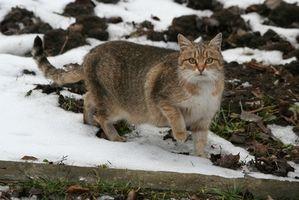 Cómo tratar la tenia en gatos con metronidazol